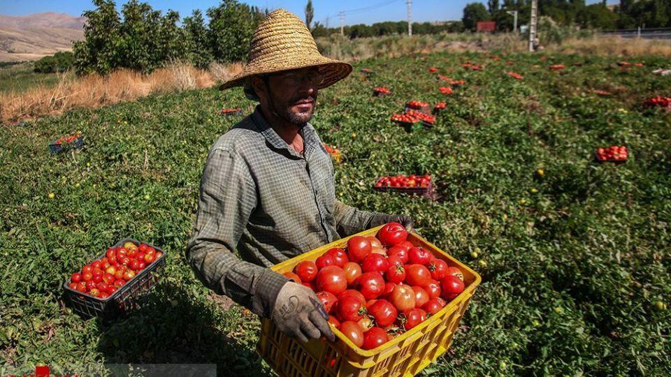 برداشت گوجه فرنگی در سنندج