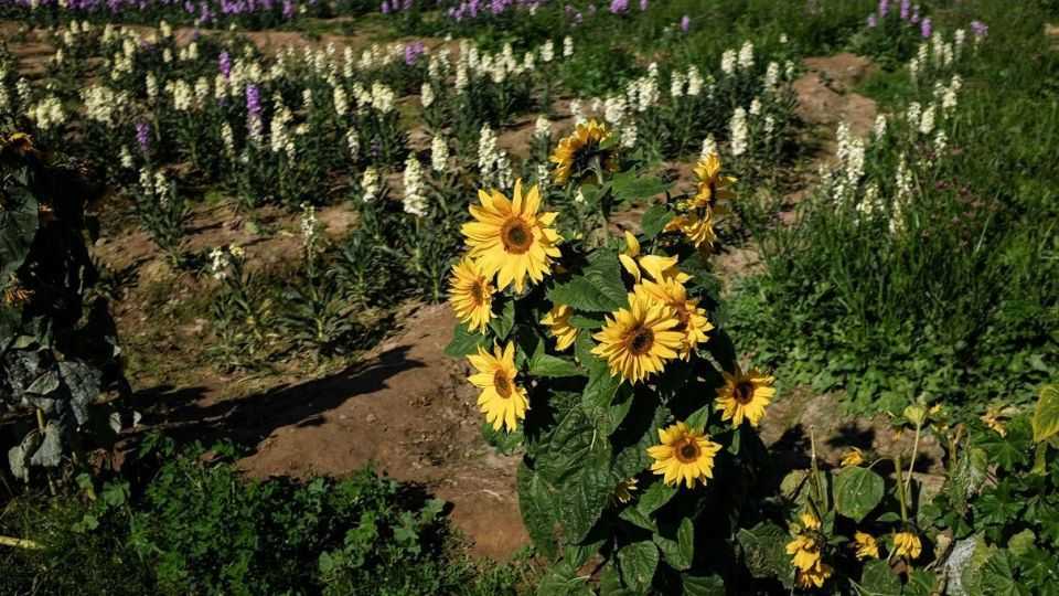 برداشت گلهای بهاری - خوزستان