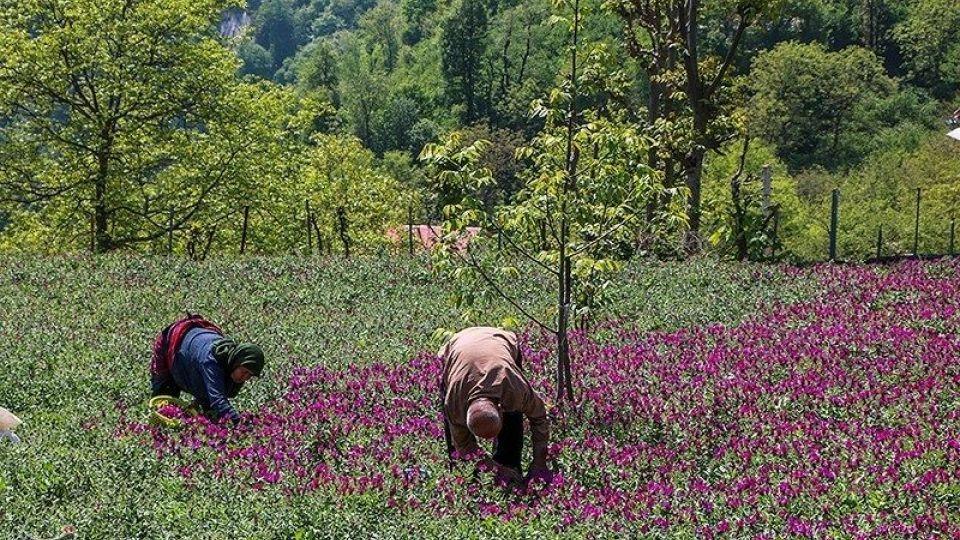 برداشت گل گاو زبان در گیلان