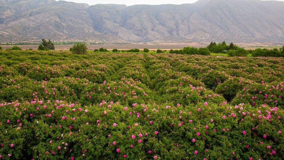 برداشت گل محمدی و گلاب گیری - فارس