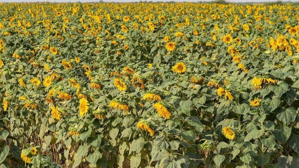 مزرعه گلهای آفتابگردان - بوشهر