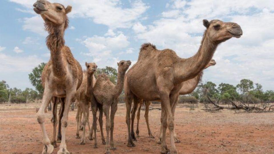 مسافران پرحاشیه گمرک؛ این بار ترخیص شتران قطری